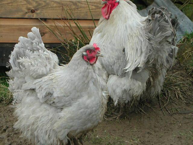 Lavender Orpington Hens Pair