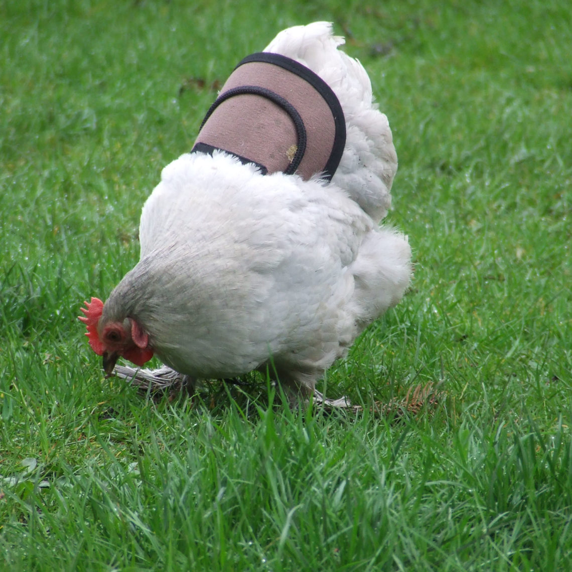 Protective Poultry Hen Saddle